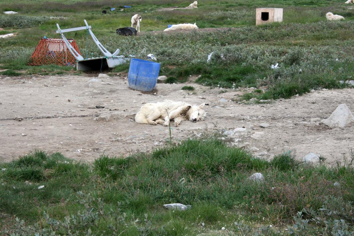 Sled dog, Ilulissat